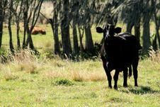 Free Black Cow In FL Pasture Stock Image - 4149031