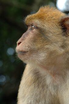 Funny Monkey Stock Photos