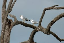 Free Two Gull Royalty Free Stock Images - 4149769