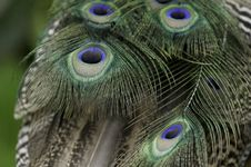 Free Peacock Feather Tail Stock Images - 41452934
