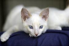 Free White Kitty Blue Eyes Stock Photo - 41452960