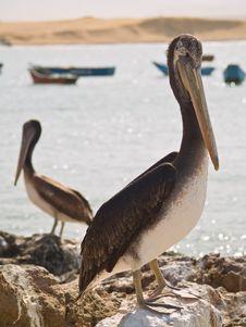 Close-up Of A Pelican Stock Photos