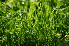 Free A Lush Grass Royalty Free Stock Image - 4150176
