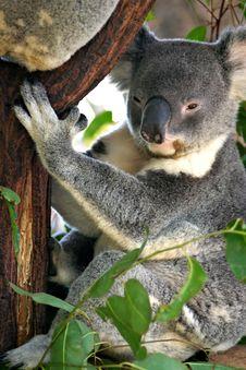 Free Koala Bear Royalty Free Stock Photos - 4150208