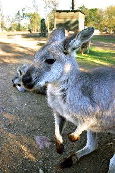 Free Kangaroo Royalty Free Stock Photography - 4150257