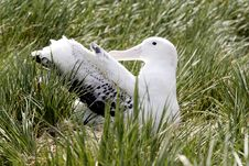 Free Wandering Albatross On Nest Stock Photography - 4150352
