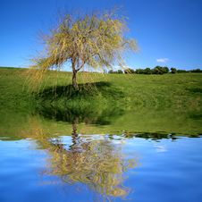 Lonely Tree In Park With Reflex In Water Stock Images