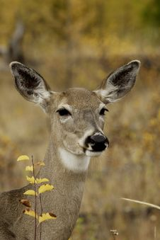 Free Mule Deer Doe Stock Photos - 4152733