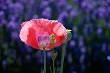 Free Pink Flower In Field Of Purple Flowers Stock Image - 4153411