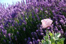 Free Pink Flower In Field Of Purple Flowers Stock Image - 4153431