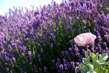 Free Pink Flower In Field Of Purple Flowers Stock Images - 4153484