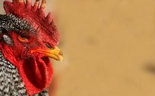 Free Barred Rock Rooster 3 Royalty Free Stock Photo - 4153605