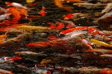 Free Colorful Koi Swimming In The Gardens Pond Stock Photography - 4154742