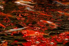 Free Colorful Koi Swimming In The Gardans Pond Stock Photos - 4154743