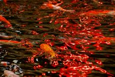 Free Colorful Koi Swimming In The Gardens Pond Royalty Free Stock Photo - 4154745