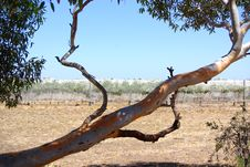 Aldinga Eucalypt & Covered Vines Stock Image