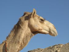 Free Head Arabian Camel Is In Sahara Stock Images - 4154914