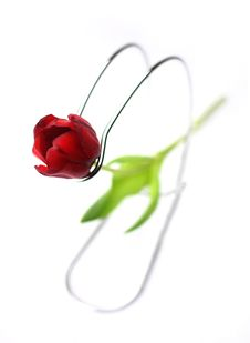 Free Tulip Stock Photography - 4155352