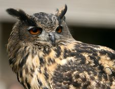 Free Eagle Owl Stock Photography - 4155442