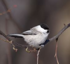 Free Coal Tit ( Periparus Ater ) Stock Photo - 4155460