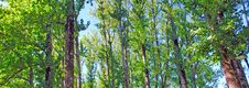 Free Portugal, Ponte Da Barca: Vegetation, Poplars Stock Photography - 4156332