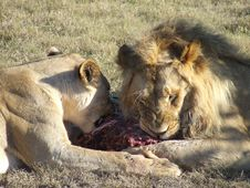Free Lions Eating Stock Images - 4156394