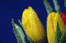 Free Yellow Tulips Royalty Free Stock Images - 4156859