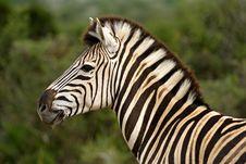 Free Burchell S Zebra Stock Images - 4157124