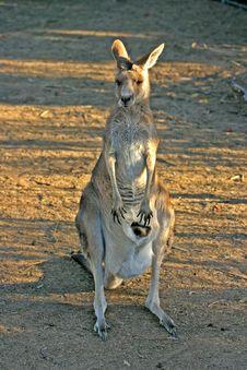 Free Kangaroo Stock Image - 4157671