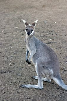 Free Kangaroo Stock Photos - 4157673
