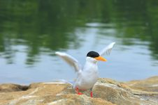 Free River Tern Royalty Free Stock Photography - 4158567