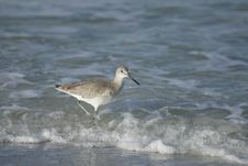 Free Willet Feeding In The Surf Stock Image - 4159181