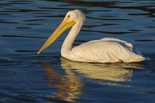Free White Pelican Royalty Free Stock Photography - 4159467