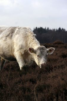 Free Cow Stock Photos - 4159803