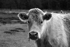 Free Cow Royalty Free Stock Image - 4159876