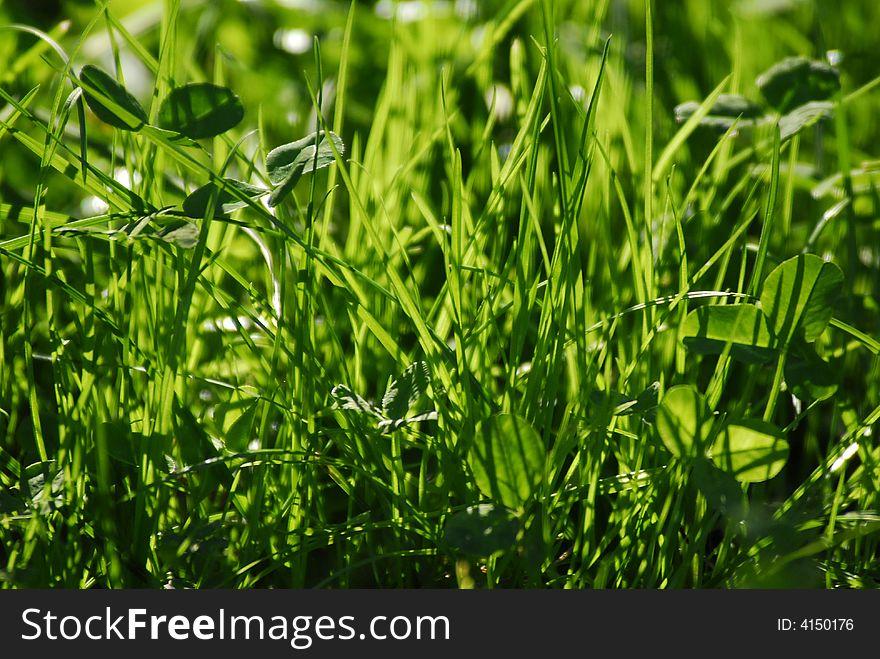 A lush grass