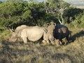 Free Rhinos Stock Image - 4163391