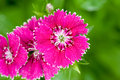 Free Pink Color Flower Blooming Royalty Free Stock Photos - 4165488