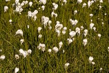 Meadow Of The Cotton Grass. Swiss Alps Royalty Free Stock Images