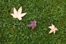 Free Three Maple Leaves On The Grass. Autumn. Stock Image - 4161741