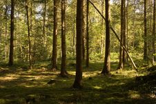 Free Sunlit Fir Forest. Summer In Switzerland Stock Photography - 4161742