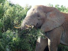 Free Elephant Bush Stock Photos - 4163233