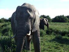 Free Male Elephants Stock Photos - 4163843