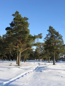 Narrow Snow Path In Winter Pine Forest Stock Photography