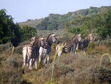 Free Zebra On Alert Stock Images - 4163924