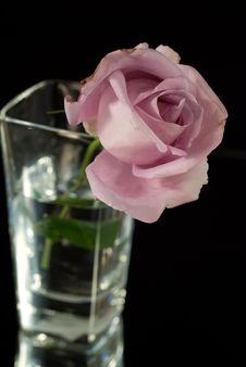 Free Lilac Rose Stock Photos - 4164243