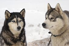 Snow Dogs Royalty Free Stock Image