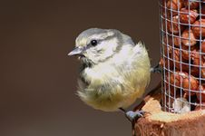 Free Baby Blue Tit Royalty Free Stock Images - 4164939
