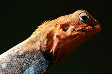 Free Red Headed Lizard Royalty Free Stock Images - 4164949