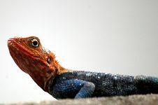 Free Red Headed Lizard Stock Image - 4164971
